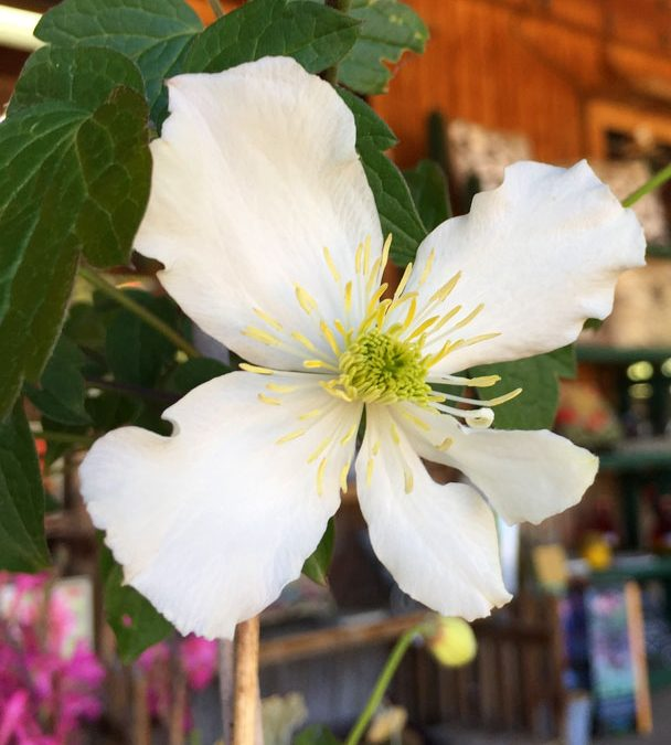 Clematis amador flower farm clematis mightylinksfo